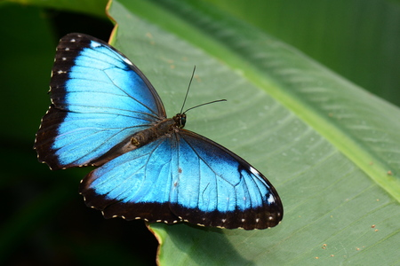 Blue morpho butterfly lands in the gardens. Stock Photo