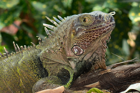 reptilian: A green iguana poses for its portrait.