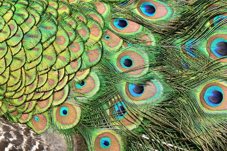 the ornithology: Abstract design of peacock feathers.