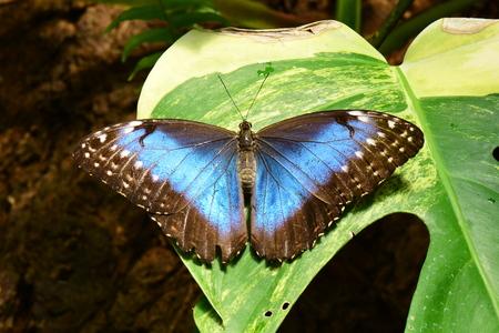 fruit eater: A Blue Morpho butterfly lands in the butterfly gardens.