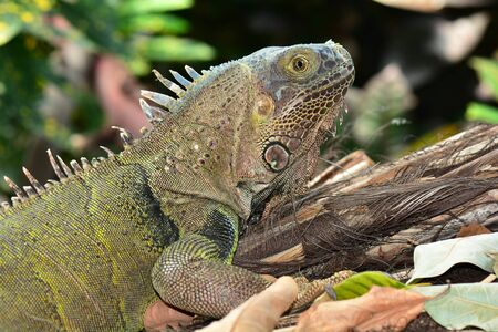 cold blooded: Green iguana in the gardens,posing for its photo