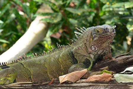 cold blooded: A posing iguana in the gardens. Stock Photo
