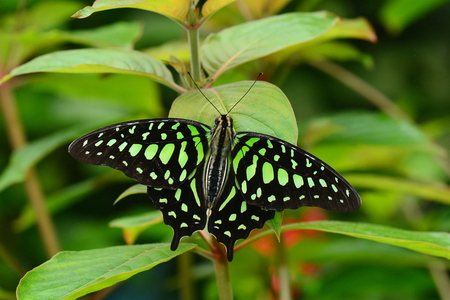 tailed: A Tailed Jay butterfly returns to the gardens. Stock Photo