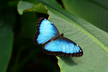 Blue morpho butterfly lands on a plant in the gardens. Stock Photo