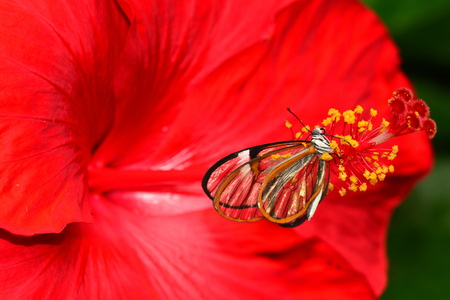 feeding through: A glasswing butterfly lands on a red hibiscus bloom in the gardens. Stock Photo