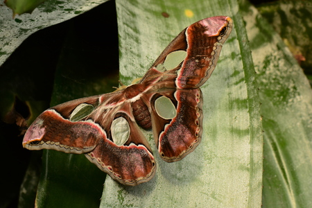 entomology: Rothchilds moth, Stock Photo