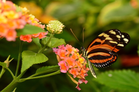 longwing: An Isabella tiger longwing butterfly lands at the nectar table in the gardens. Stock Photo