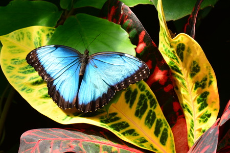 lepidoptera: A pretty blue morpho butterfly lands on a croton plant in the gardens.