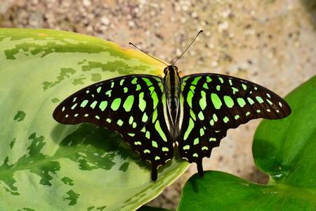 green jay: Una mariposa atada de Jay aterriza en los jardines.