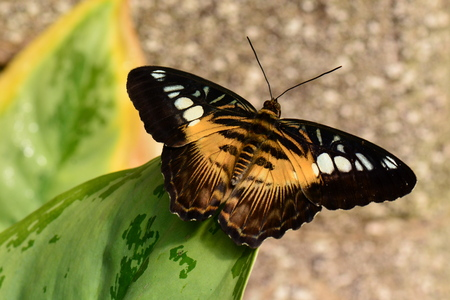 clipper: Brown Clipper butterfly