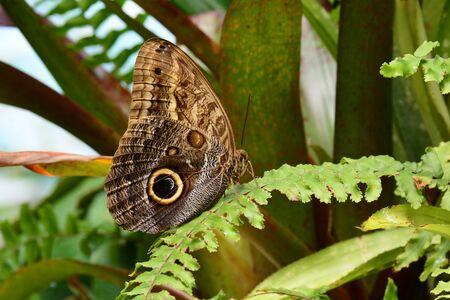frond: An Owl butterfly lands on a fern frond in the gardens. Stock Photo
