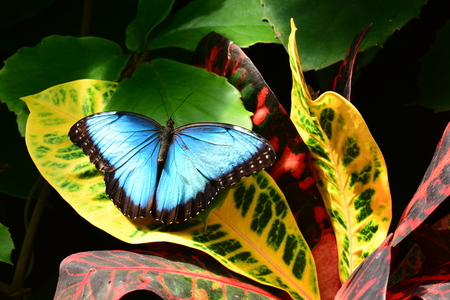 entomology: A pretty Blue Morpho lands on a croton plant in the gardens.