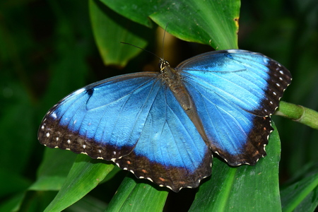 entomology: A Blue Morpho butterfly shows off its blue iridescent wingspan in the gardens. Stock Photo