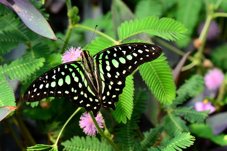 green jay: Atado tierras mariposa Jay en los jardines