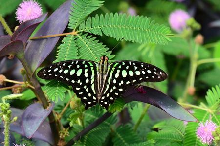 green jay: Atado tierras mariposa Jay en un parche de mimosa en los jardines.
