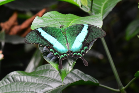 Emerald Swallowtail butterfly,green with envy. Stock Photo