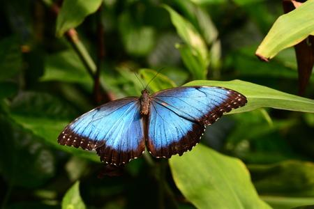 Blue morpho butterfly spreads its beauty in the gardens.