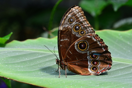 entomology: Blue Morpho butterfly