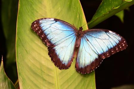 wingspan: Blue Morpho butterfly lands in the gardens.