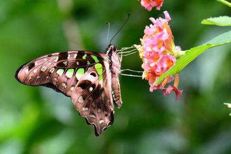 green jay: Una mariposa atada de Jay se alimenta de n�ctar en los jardines de mariposas. Foto de archivo