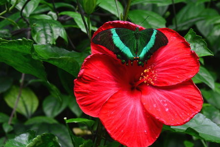 swallowtail: An Emerald Swallowtail butterfly lands on a red hibiscus bloom.