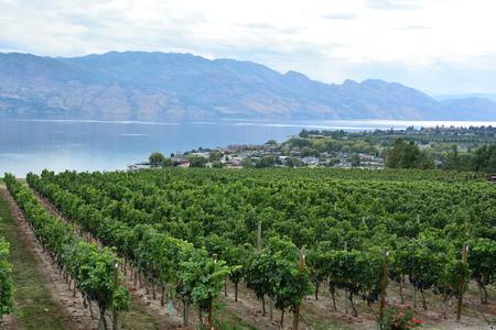 Okanagan Valley vineyard,Kelowna BC. Stock Photo