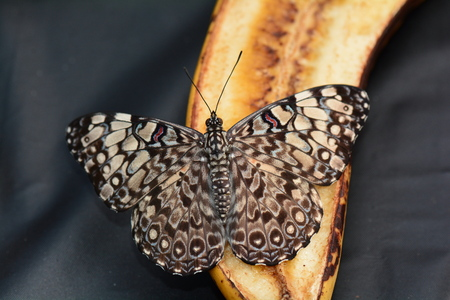 banana slice: Gray Cracker butterfly on a banana slice
