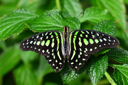 green jay: Tailed Jay butterfly portrait.
