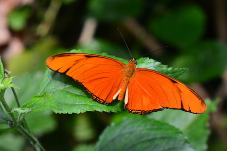 entomology: Orange Julia butterfly spreads its wings in the butterfly gardens. Stock Photo