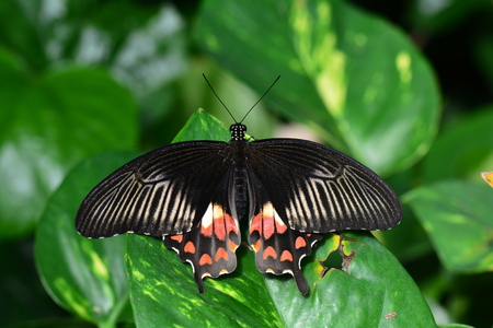 entomology: A Common Mormon butterfly lands in the butterfly gardens. Stock Photo