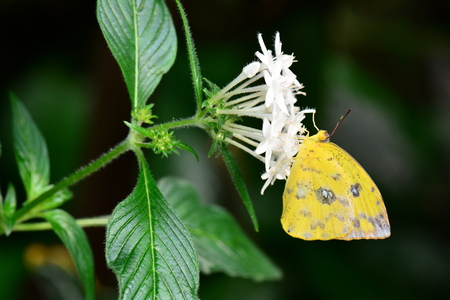 feasts: An Orange-barred sulfur feasts on nectar in the gardens.