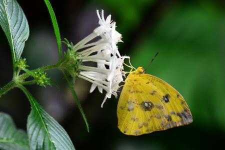 sulfur: Orange-barred sulfur butterfly lands in the gardens.