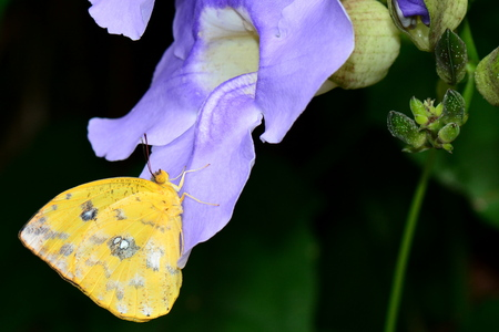 sulfur: Orange-barred Sulfur butterfly lands in the gardens on a sky clock vine. Stock Photo