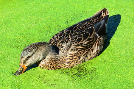 green algae: Female mallard duck rustles its beak in the green algae laden water. Stock Photo