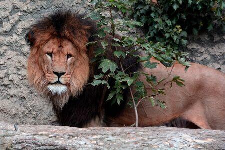Der König der Tiere sieht in stolz Standard-Bild