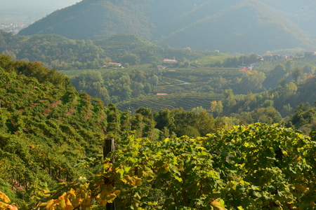 fertile land: Italian vineyard growing grapes along the Prosecco highway.