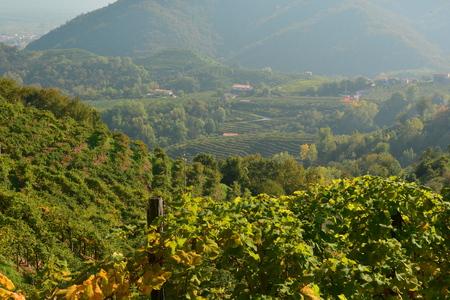 tierra fertil: Vi�edo italiano cultivo de la vid a lo largo de la carretera de Prosecco. Foto de archivo