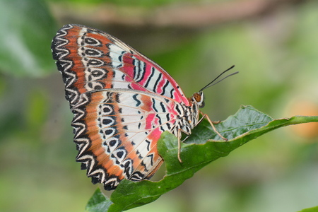 biblis: Lace wing butterfly portait and detail. Stock Photo
