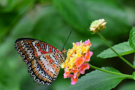 biblis: Lace wing butterfly sucks on nectar in the gardenws. Stock Photo