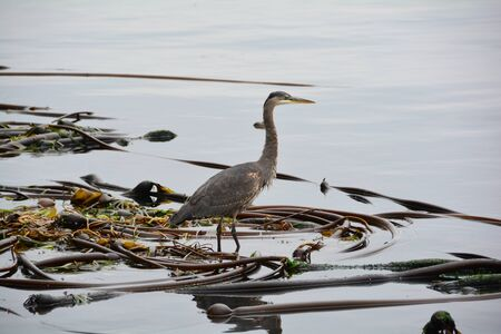great blue heron: Great Blue heron on a kelp bed.