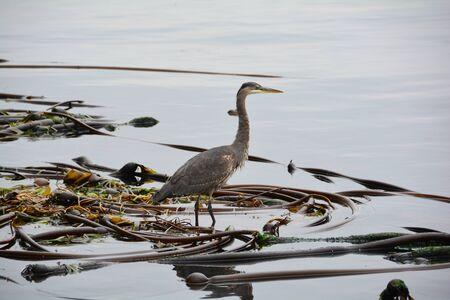 blue heron: Great Blue heron on a kelp bed.