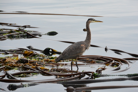 great blue heron: Great Blue Heron on a help bed waiting for lunch to swim by. Stock Photo