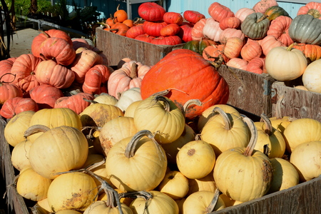 farm market: Pumpkins on display at the farm market.