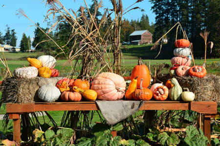 gourds: Pumpkin display at the farmers market.Pumpkins gourds and squashes on display. Stock Photo