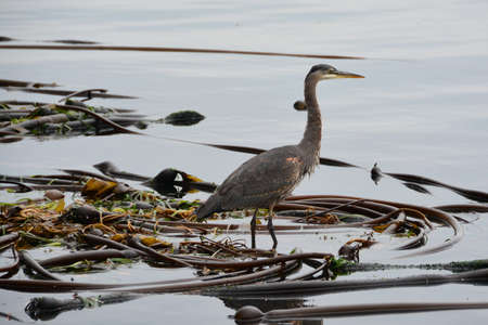 Great Blue Heron on a bed of kelp. Stock Photo