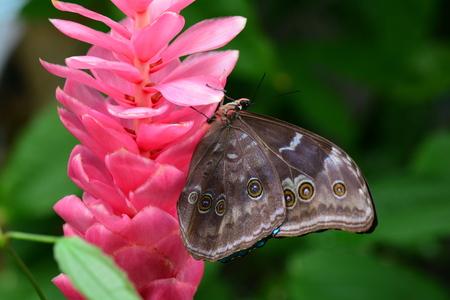 Morpho amathonte  lands on a pink ginger bloom in the gardens. Banco de Imagens