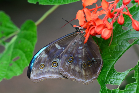 nectar: Morpho amathonte lands in the gardens at the nectar table. Stock Photo