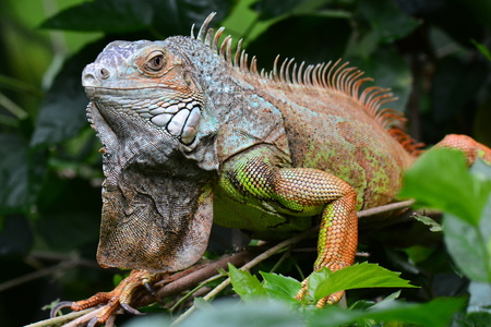 reptilian: A green iguana poses for its portrait