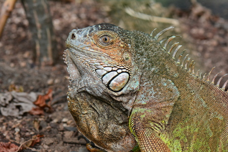 blooded: Iguana head shot portrait. Stock Photo