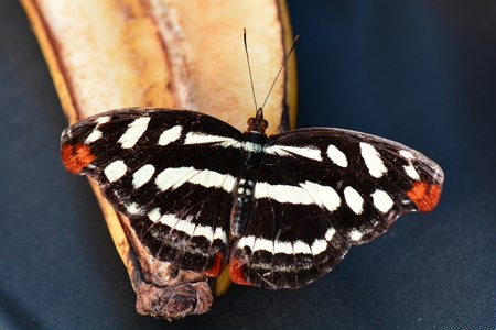 entomology: A pretty Catonephele mexicana butterfly relaxes at the butterfly buffet tables in the gardens.